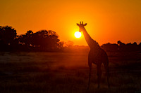 Giraffe Enjoying the Sunset