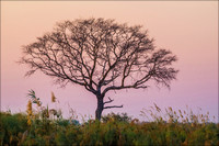Mopane Tree at Dusk