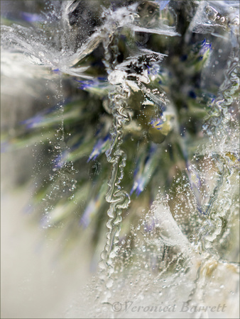 Globe Thistle in Ice