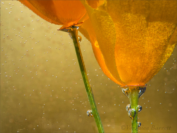California Poppies in Water