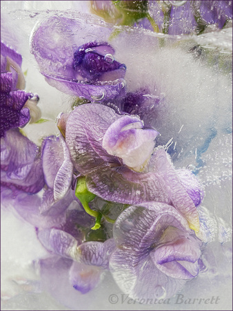 Sweet Peas in Ice