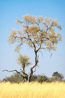Tree in the Okavango Delta