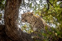Leopard Watching Impala